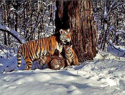 Имена для тигрят могут выбрать жители ЕАО