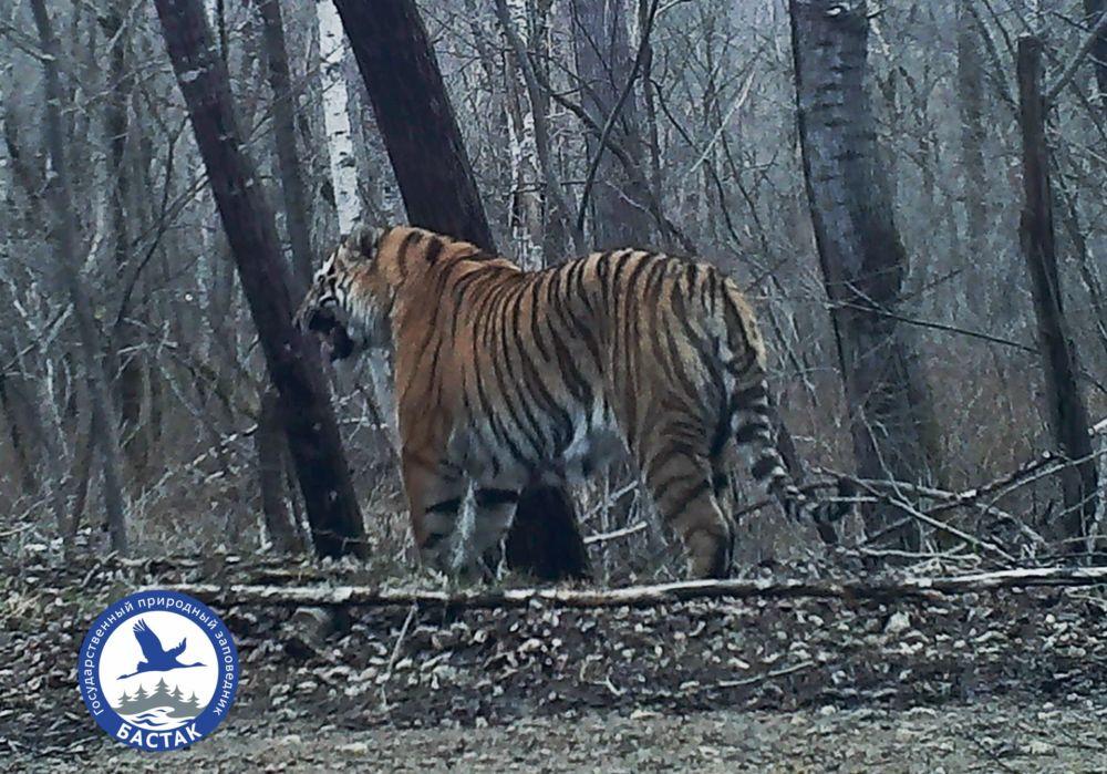 В заповеднике «Бастак» появился новый тигр