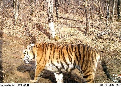 В заказнике «Журавлиный» появились новые тигрята