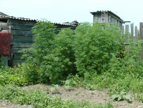 Биробиджанские полицейские нашли две плантации конопли