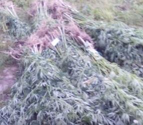 Холил и лелеял почти 800 кустов конопли житель поселка Николаевка