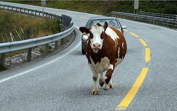 Вышедшая на дорогу корова стала виновницей ДТП в ЕАО