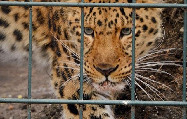 Леопард напал на двухлетнего ребенка в зоопарке Уссурийска