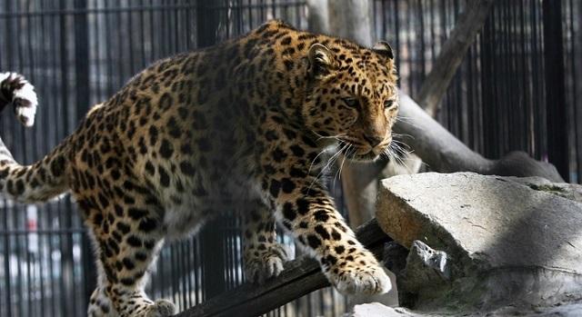 Нападение леопарда на ребенка в зоопарке: прокуратура выявила нарушения