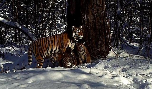 Тигрица Золушка во второй раз стала мамой
