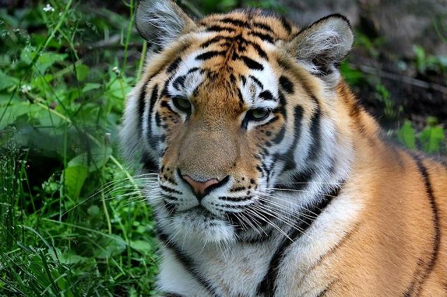 Найденная под Хабаровском истощенная тигрица умерла