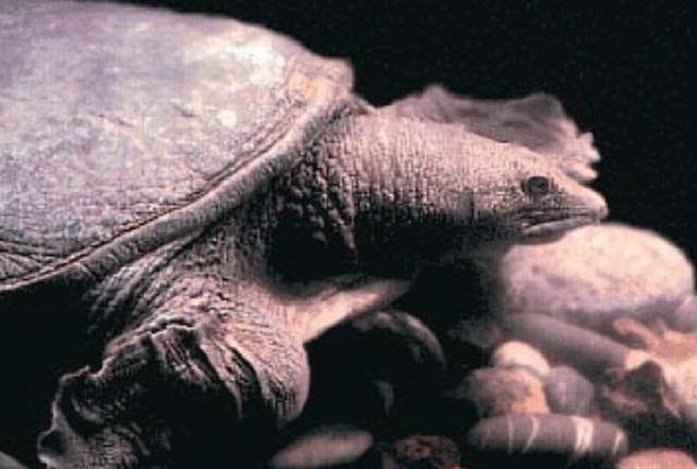 Краснокнижную черепаху выставили на продажу в ЕАО