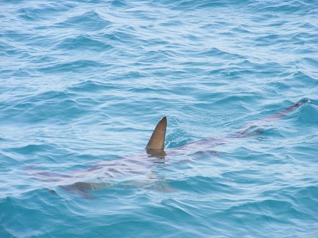 На популярном пляже Приморья поймали акулу