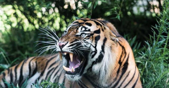Первая добыча тигра Сайхана