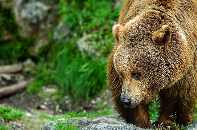 В Еврейской автономии медведи вышли к людям