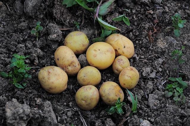 Россельхознадзор опроверг запрет сажать картофель для личных нужд