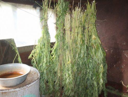 26 снопов конопли изъяли в Облученском районе
