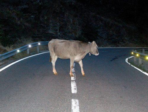 Корова на трассе в ЕАО стала причиной трех ДТП