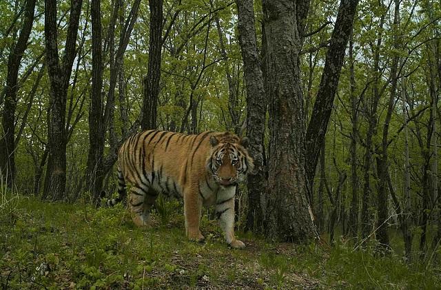В ЕАО проверили, как живет тигрица Филиппа