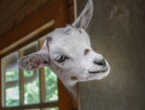 Кражу козла раскрыли в Биробиджане