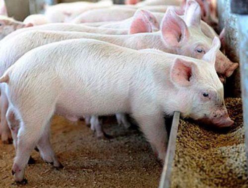 Комбикорм и мясную продукцию из ЕАО запретили ввозить в Хабаровский край
