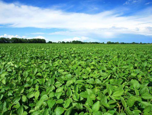На 10 тысяч гектаров увеличат посевную площадь под сою фермеры Ленинского района