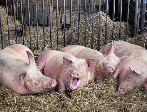 Успехи в свиноводстве предрёк губернатор ЕАО Александр Левинталь