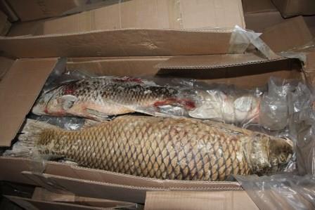 Биробиджанские контрабандисты пытались вывезти в Китай 28 тонн незадекларированной рыбы