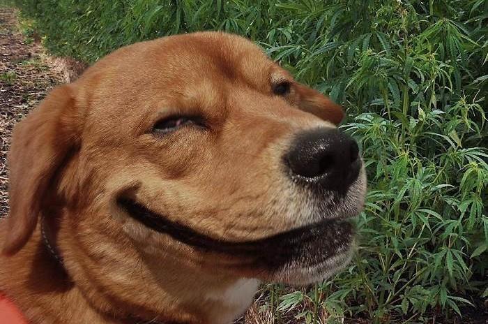 Посадил собаку на коноплю: житель Амурзета прятал наркотики в собачьей будке