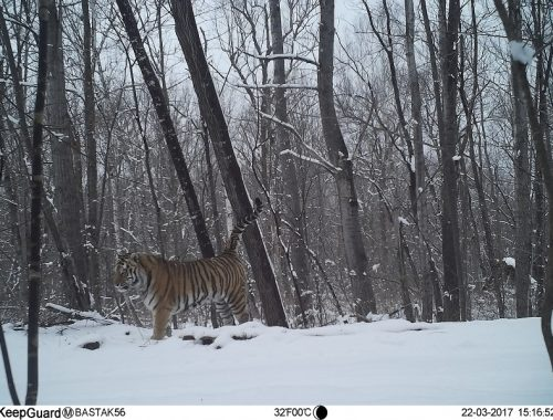 В заповеднике «Бастак» появился конкурент тигру Заветному