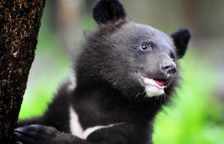 Троих гималайских медвежат выпустили в дикую природу на территории ЕАО