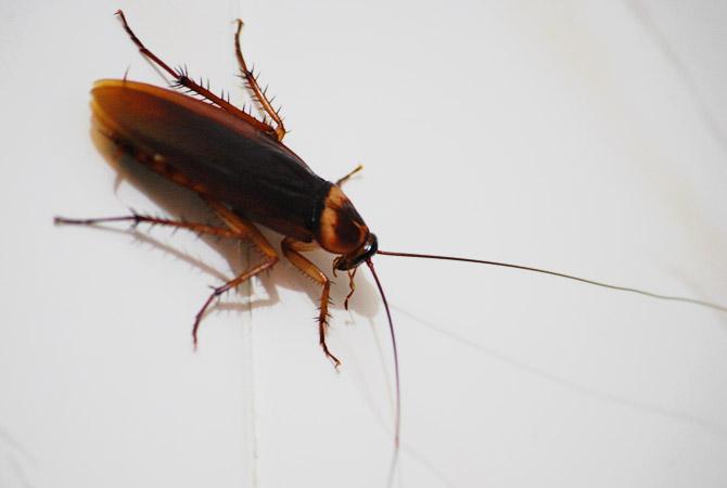 жуки похожие на тараканов фото немного