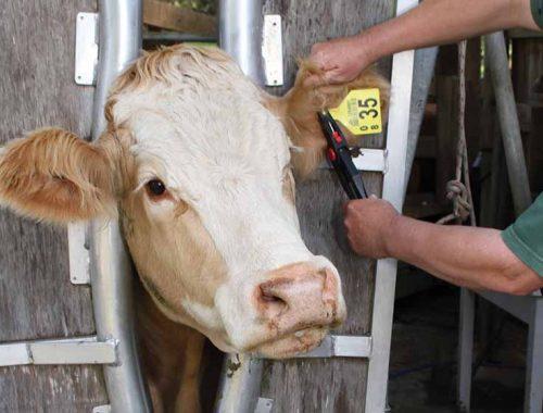 Жителей ЕАО обяжут маркировать сельскохозяйственных животных