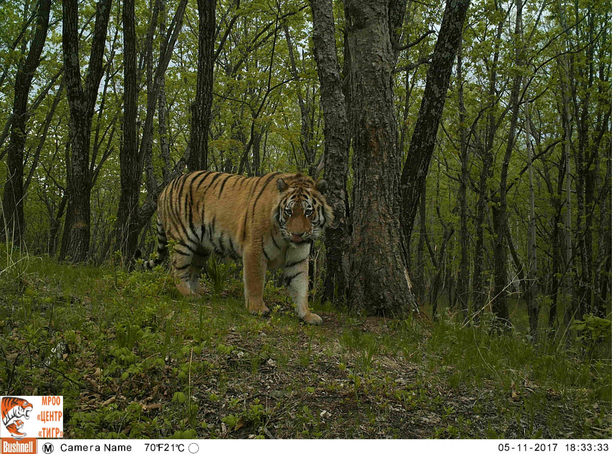 Тигрица Филиппа успешно адаптируется в дикой природе