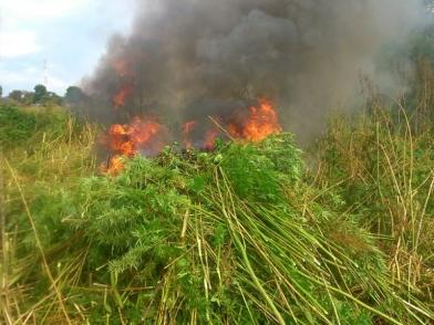 Более семи тонн конопли уничтожено в Ленинском районе ЕАО