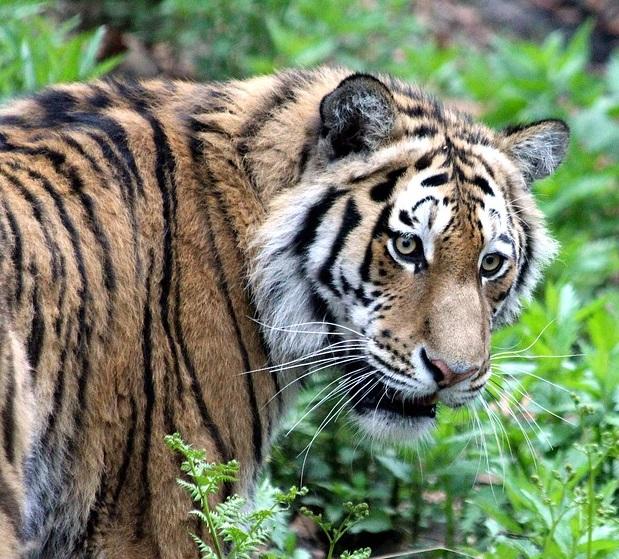 В Приморье перекрыт канал скупки и отправки за рубеж частей тела амурского тигра