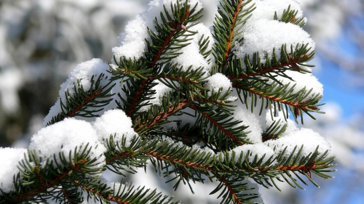 Около 1000 хвойных деревьев заготовили в этом году в ЕАО