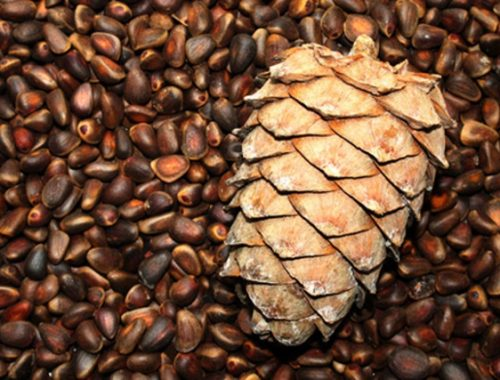 В ЕАО озадачились сроками сбора кедровых орехов