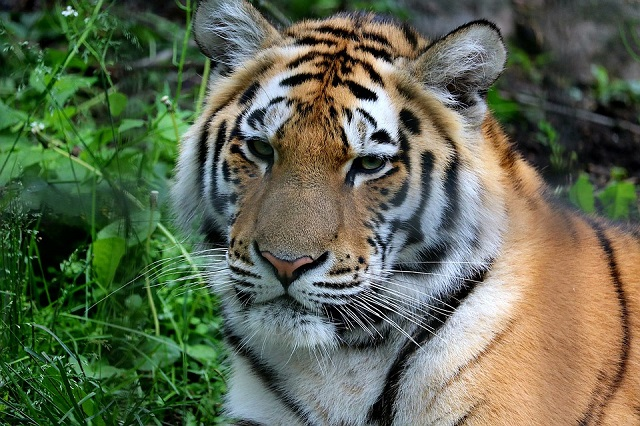 «Усатый-полосатый»: День тигра отметят в Биробиджане
