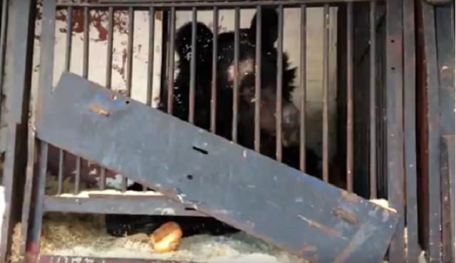 Гастролирующий цирк бросил медведей на произвол судьбы