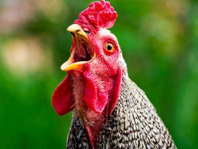 Биробиджанка подала в суд на владелицу собаки, загрызшей ее курицу