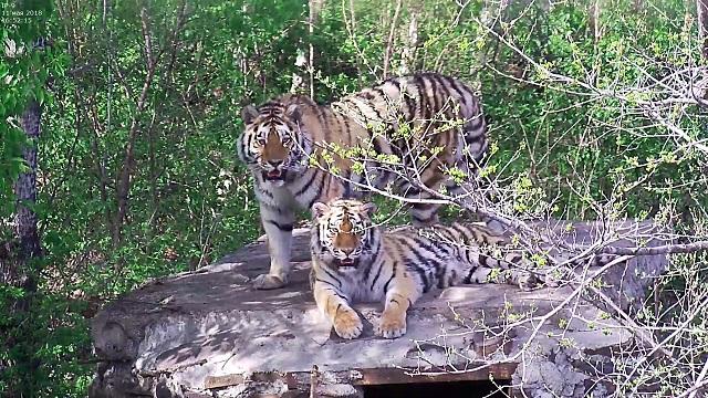 Выпущенная на волю пара тигров разошлась в Еврейской автономии