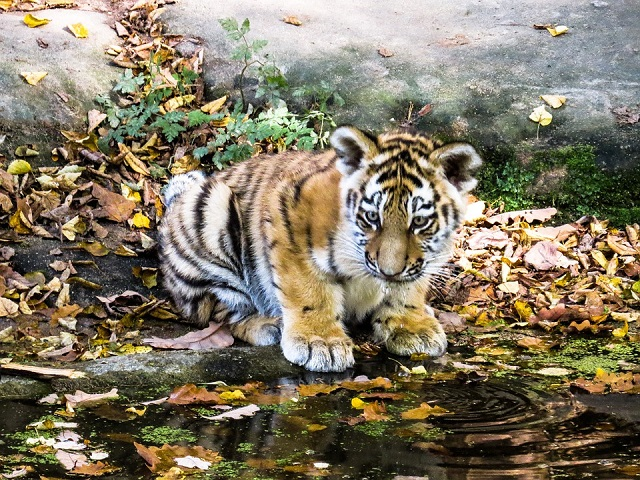 Останки двух амурских тигрят нашли в лесу в Хабаровском крае