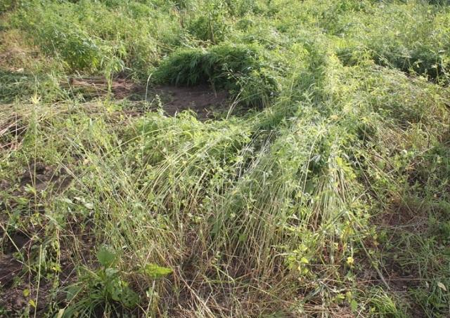 Главы районов ЕАО игнорируют требования об уничтожении дикорастущей конопли