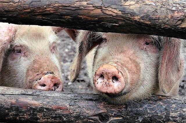Жителей ЕАО предупреждают о вспышке африканской чумы свиней
