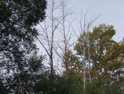 Сухими деревьями в центре Биробиджана заинтересовалась прокуратура