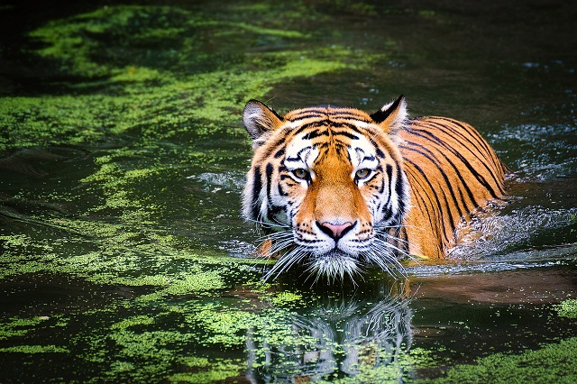 На Дальнем Востоке впервые в мире определили геном амурского тигра