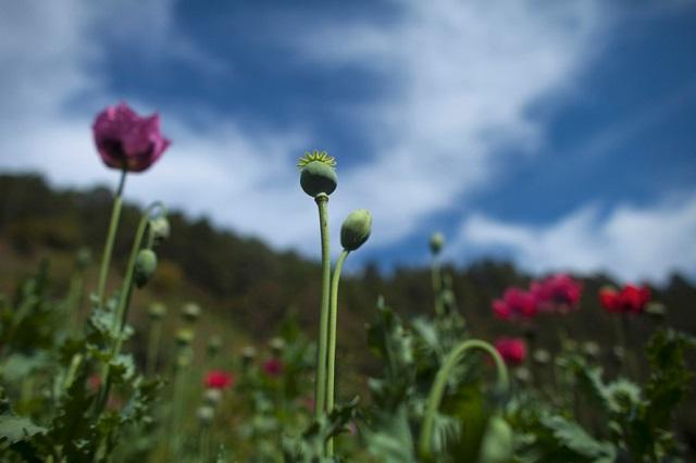 Минпромторг предложил разрешить выращивание наркосодержащих растений