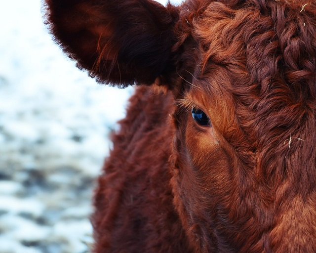 Названа предварительная причина гибели коров в с. Бабстово ЕАО