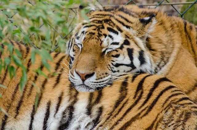 «Президентский» тигр Борис нашел новую невесту в ЕАО