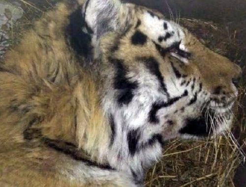 Тигр, укравший собак у пограничников, умер от старости