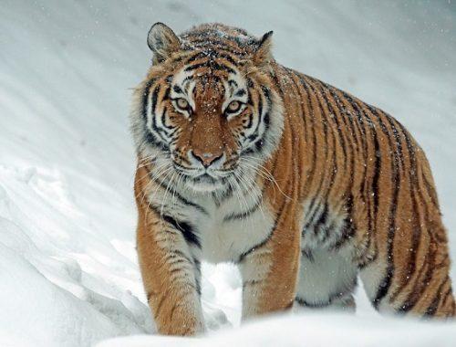 За похищенный амурским тигром скот выплатят компенсацию
