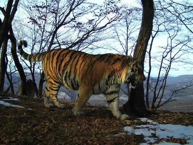 Тигрица из ЕАО «нарушила карантин»