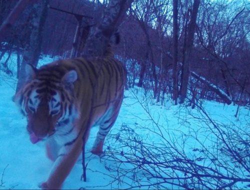 Пропавшую тигрицу Филиппу нашли в тайге ЕАО