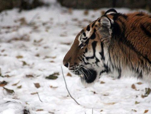 Ущерб, нанесенный тигром Сайханом, возместили староверу из ЕАО